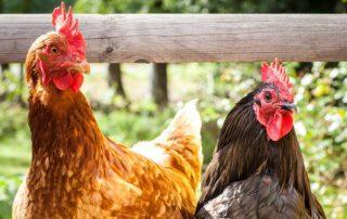 Zwei Hühner stehen auf einem Holzzaun