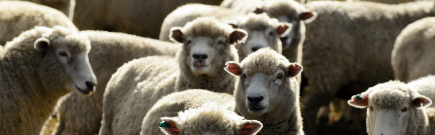 Schafherde auf Weide